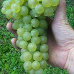 grappolo.uva.bianca.terredeigaia.