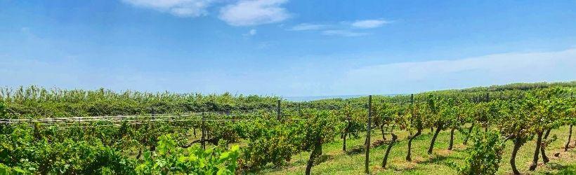Il vino bianco di Domus Susak, in Croazia